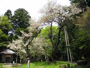Oshikazakura0805a