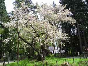 Oshikazakura0805b