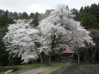 Akaedasakura1104b