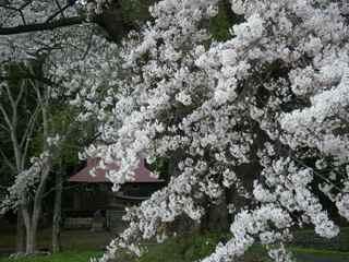 Akaedasakura1104c