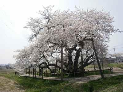 Sakura1204a