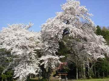 Sakura1204e
