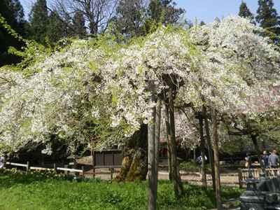 Sakura1204g