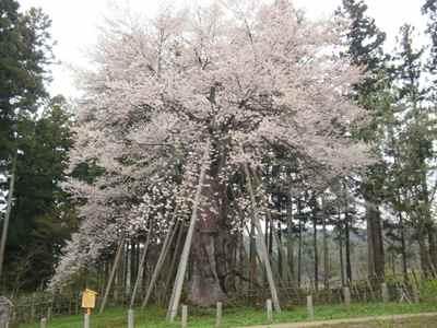 Sakura1204n