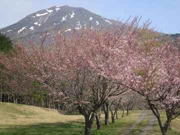 Sakura1205f