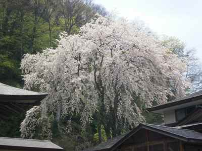Sakura1205k
